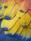 Scarlet Macaw Feather Detail  Chichicastenango  Western Highlands  Guatemala