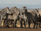 Common Zebra Herd at Water Hole  Masai Mara Game Reserve  Kenya