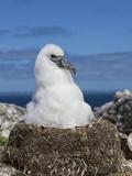 Shy Albatross Chick  Bass Strait  Tasmania  Australia