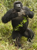 Mountain Gorillas Blackback Beating His Chest  Volcanoes National Park  Rwanda