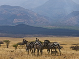 Zebras at the Nechisar National Park  Ethiopia  Africa