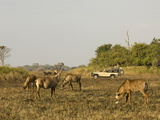 Roan Antelope  Busanga Plains  Kafue National Park  Zambia  Africa