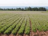 Potato Fields  Prince Edward Island  Canada  North America