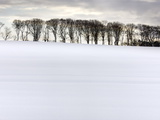 Row of Trees in Silhouette on Edge of Snow-Covered Field  Northumberland  England