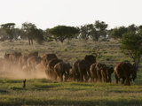 Elephants (Loxodonta Africana)  Lualenyi Game Reserve  Kenya  East Africa  Africa