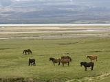 Icelandic Horses  Lagarfljot Lake  Egilstadir  Iceland  Polar Regions