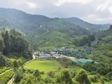 Tea Plantation  Cameron Highlands  Perak  Malaysia  Southeast Asia  Asia