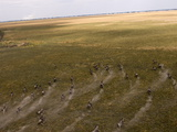 Blue Wildebeest Seen From Helicopter Flight Over Busanga Plains  Kafue National Park  Zambia
