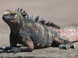 Marine Iguana  Port Egas (James Bay) Isla Santiago (Santiago Island)  Galapagos Islands