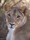 Lioness (Panthera Leo)  Loisaba Wilderness Conservancy  Laikipia  Kenya  East Africa  Africa