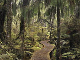 Walkway Through Swamp Forest  Ships Creek  West Coast  South Island  New Zealand  Pacific