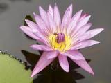 Lotus Flower  Balata Garden  Martinique  French Overseas Department  Windward Islands