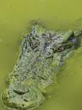 Saltwater Or Estuarine Crocodile (Crocodylus Porosus)  Sarawak  Borneo  Malaysia