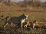 Lioness and Cubs  Busanga Plains  Kafue National Park  Zambia  Africa
