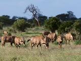 Oryx (Oryx Gazella)  Tsavo East National Park  Kenya  East Africa  Africa