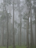 Mountain Ash Forest in Fog  Dandenong Ranges National Park  Dandenong Ranges  Victoria  Australia