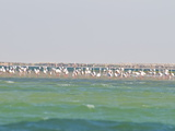 Flamingos (Phoenicopteridae) Standing on a Sandbank of the Banc D'Arguin  Mauritania