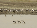 Yellow-Billed Storks (Mycteria Ibis)  Luangwa River  South Luangwa National Park  Zambia  Africa
