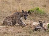 Spotted Hyaena (Crocuta Crocuta)  Masai Mara  Kenya  East Africa  Africa