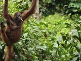 Orangutan (Pongo Borneo)  Sabah  Borneo  Malaysia  Southeast Asia  Asia