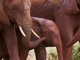 Elephant Calf (Loxodonta Africana)  Tsavo East National Park  Kenya  East Africa  Africa