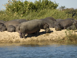 Hippopotamuses  Zambesi River  Zambia  Africa