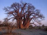 Chapman's Baobab  Makgadikgadi Pans National Park  Botswana  Africa