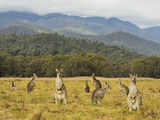 Eastern Grey Kangaroos  Geehi  Kosciuszko National Park  New South Wales  Australia  Pacific