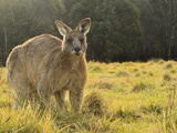 Eastern Grey Kangaroo  Geehi  Kosciuszko National Park  New South Wales  Australia  Pacific