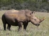 White Rhinoceros (Caratotherium Simum)  Kariega Game Reserve  South Africa  Africa