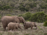 Elephant (Loxodonta Africana) and Young  Kariega Game Reserve  South Africa  Africa