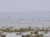 Flamingos in the Abiata-Shala National Park  Ethiopia  Africa