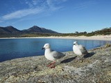 Seagulls  Wineglass Bay  Freycinet National Park  Freycinet Peninsula  Tasmania  Australia  Pacific