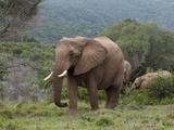 Elephant (Loxodonta Africana)  Kariega Game Reserve  South Africa  Africa