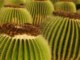 Cactus Garden of Guatiza  Lanzarote  Canary Islands  Spain  Europe