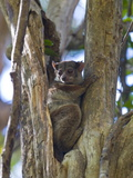Microcebus Ravelobensis (Golden-Brown Mouse Lemur)  Ankarafantsika National Park  Madagascar