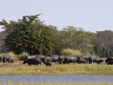 Hippopotamus (Hippopotamus Amphibius)  Busanga Plains  Kafue National Park  Zambia  Africa