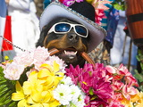 Dog Carrying Flowers at the Carnival in Funchal  Madeira  Portugal  Europe