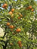 Neroli Orange Flowers and Oranges in Gardens of Reales Alcazares  Seville