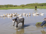 Horse and Pelicans in the Abiata-Shala National Park  Ethiopia  Africa