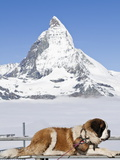 St Bernard Dog and Matterhorn From Atop Gornergrat  Switzerland  Europe