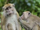 Macaques  Sabah  Borneo  Malaysia  Southeast Asia  Asia
