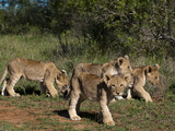 Lion (Panthera Leo)  Kariega Game Reserve  South Africa  Africa