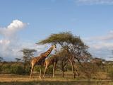 Reticulated Giraffe (Giraffa Camelopardalis Reticulata)  Samburu National Park  Kenya  East Africa