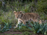 Lion Cub (Panthera Leo)  Kariega Game Reserve  South Africa  Africa