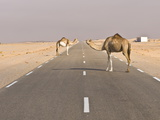 Camels Standing on the Road Between Nouadhibou and Nouakchott  Mauritania  Africa