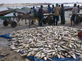 Fish For Sale Laid Out on the Ground at the Fish Market  Nouadhibou  Mauritania  Africa
