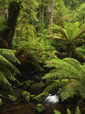 Stream and Tree Ferns  Mount Field National Park  UNESCO World Heritage Site  Tasmania  Australia