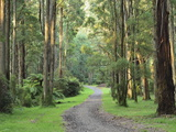 Mountain Ash Forest  Dandenong Ranges National Park  Dandenong Ranges  Victoria  Australia  Pacific