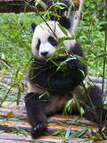 Giant Panda (Ailuropoda Melanoleuca) at the Panda Bear Reserve  Chengdu  Sichuan  China  Asia